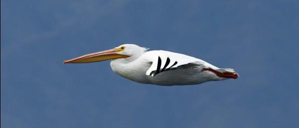 IBR-White Pelican